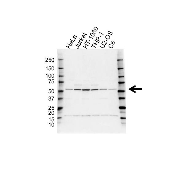 RUVBL1 Antibody (PrecisionAb<sup>TM</sup> Antibody) gallery image 1