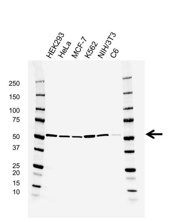 RUVBL1 Antibody (PrecisionAb<sup>TM</sup> Antibody) | AB04/2E9 gallery image 1