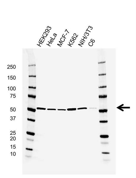 RUVBL1 Antibody (PrecisionAb<sup>TM</sup> Antibody)   AB04/2E9 gallery image 1
