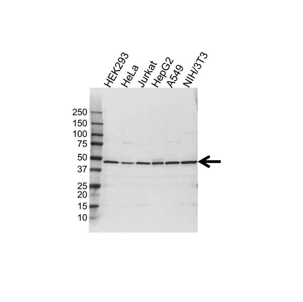 S-ADENOSYLHOMOCYSTEINE Hydrolase Antibody (PrecisionAb<sup>TM</sup> Antibody) gallery image 1