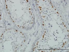 SALL4 Antibody | 6E3 gallery image 1