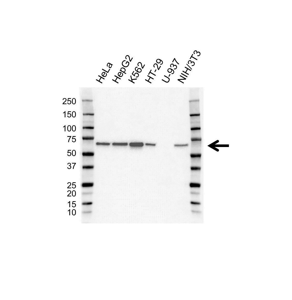 SAM68 Antibody (PrecisionAb<sup>TM</sup> Antibody) gallery image 1