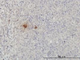 SCGB1A1 Antibody | 4A5-A11 gallery image 1