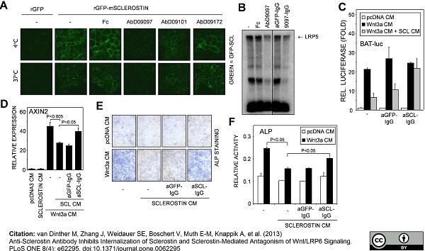 Sclerostin Antibody | AbD09097_h/mIgG2a gallery image 1