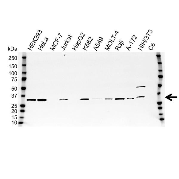 SDCBP Antibody (PrecisionAb<sup>TM</sup> Antibody) gallery image 1