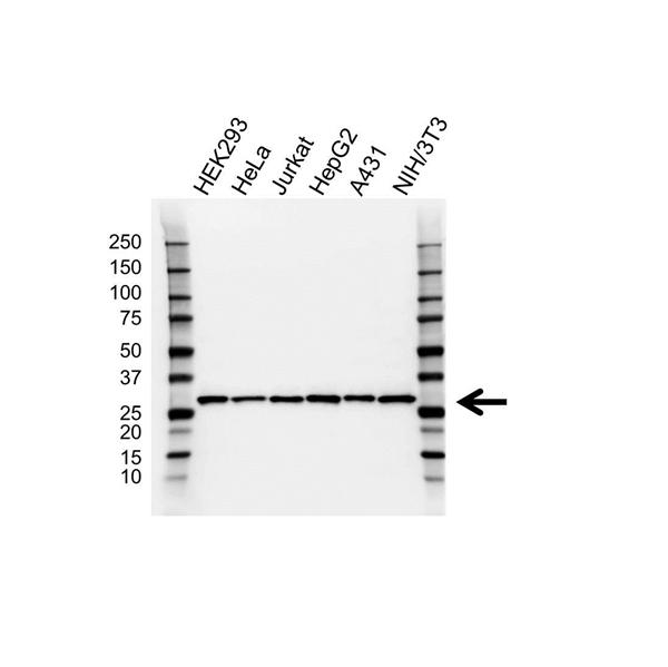 Sdhb Antibody (PrecisionAb<sup>TM</sup> Antibody) | 2A3 gallery image 1