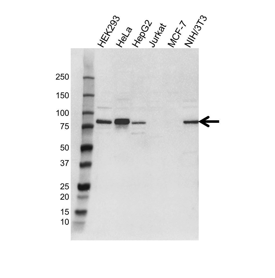 SEL1L Antibody (PrecisionAb<sup>TM</sup> Antibody) gallery image 1