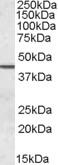SEPT2 Antibody gallery image 1