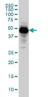 SERPINI1 Antibody | 1D10 gallery image 2
