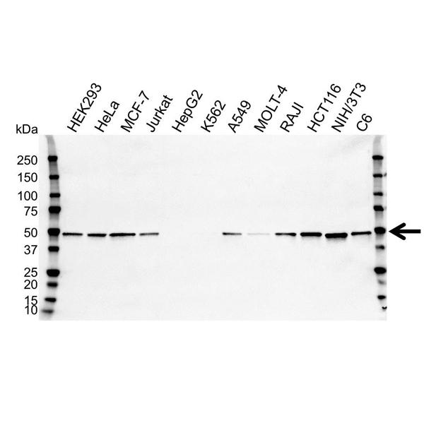 SETD7 Antibody (PrecisionAb<sup>TM</sup> Antibody) | OTI2D10 gallery image 1