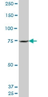 SETX Antibody | 2A9 gallery image 2