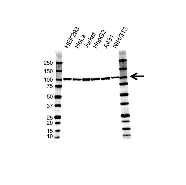 SFPQ Antibody (PrecisionAb<sup>TM</sup> Antibody) gallery image 1