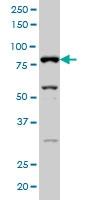 SFRS17A Antibody | 2G8 gallery image 3