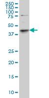 SGK2 Antibody   1A7 gallery image 1