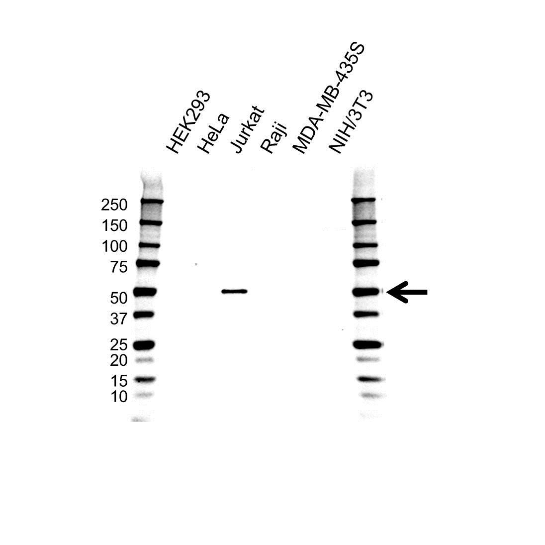 SH2D2A Antibody (PrecisionAb<sup>TM</sup> Antibody) | OTI6G1 gallery image 1