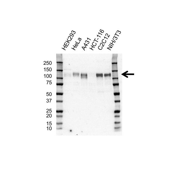 SIRT1 Antibody (PrecisionAb<sup>TM</sup> Antibody) gallery image 1
