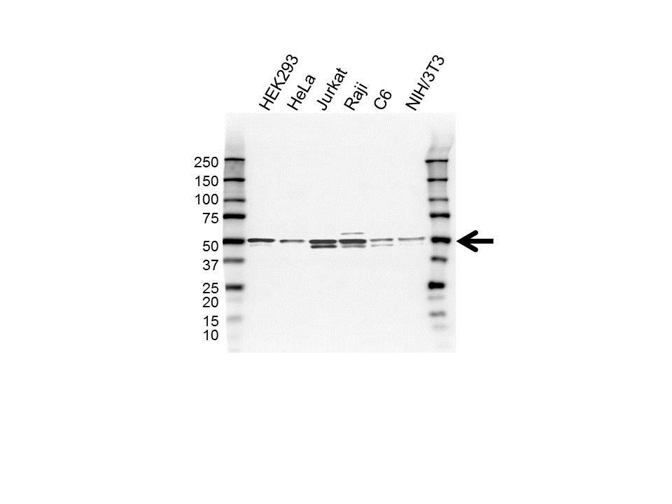 Skar Antibody (PrecisionAb<sup>TM</sup> Antibody) gallery image 1