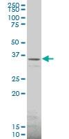 SLC22A2 Antibody | 2D2 gallery image 1