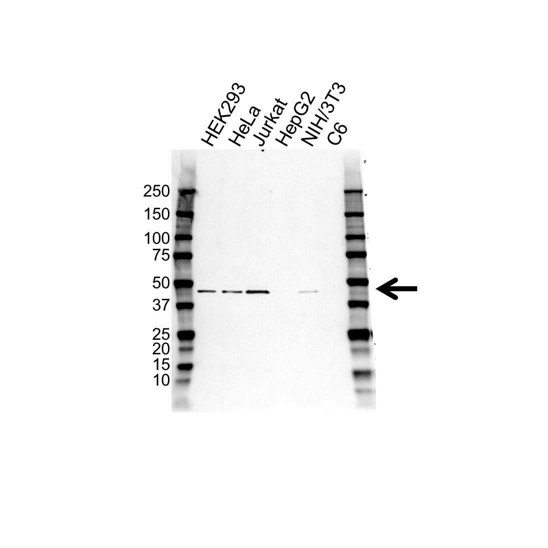 SLC39A6 Antibody (PrecisionAb<sup>TM</sup> Antibody) gallery image 1