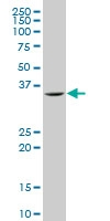 Slug Antibody | 6A7 gallery image 1