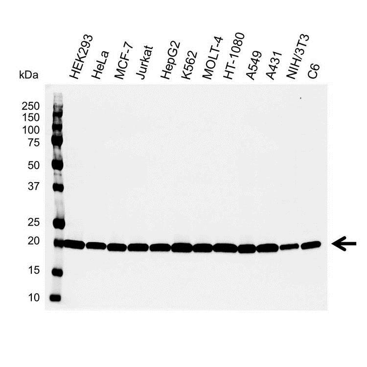 Smac/DIABLO Antibody (PrecisionAb<sup>TM</sup> Antibody) gallery image 1