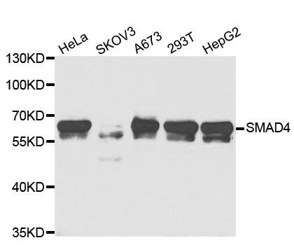 SMAD4 Antibody gallery image 1