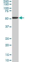 SMAD1 Antibody | 1D3 gallery image 1