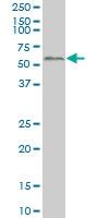 SMAD2 Antibody | 3G9 gallery image 1