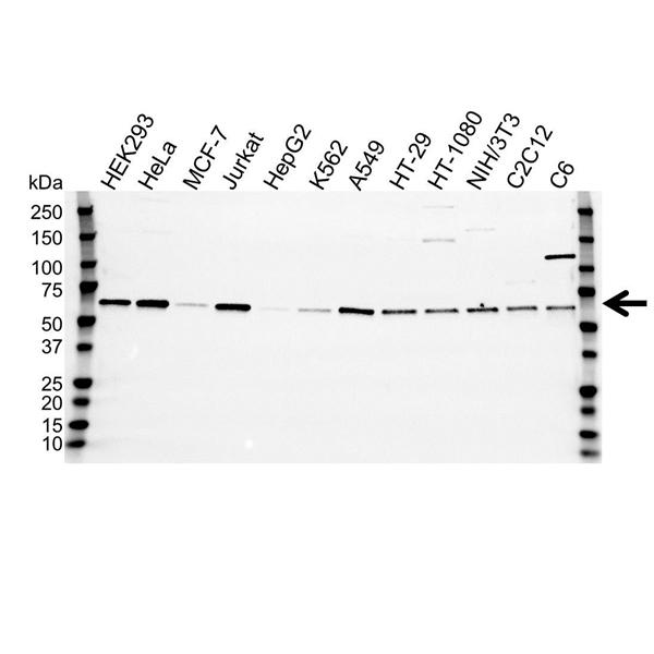 SMAD2 Antibody (PrecisionAb<sup>TM</sup> Antibody) gallery image 1
