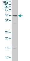 SMAD3 Antibody | 1B7 gallery image 1