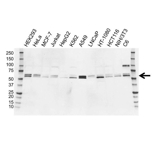SMAD3 Antibody (PrecisionAb<sup>TM</sup> Antibody) gallery image 1