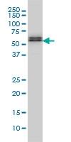 SMAD5 Antibody | 2D7 gallery image 2