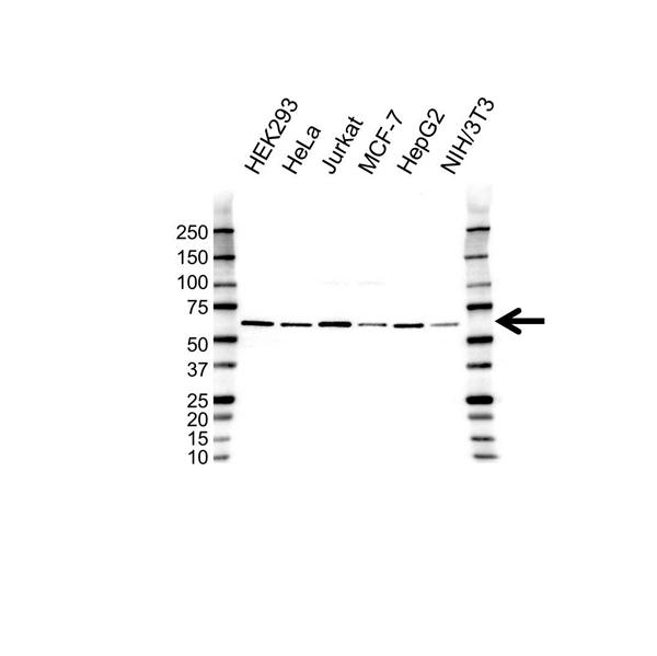 SMAD6 Antibody (PrecisionAb<sup>TM</sup> Antibody) gallery image 1