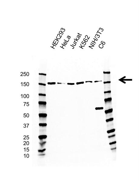 SMC1A Antibody (PrecisionAb<sup>TM</sup> Antibody) | AB01/4H4 gallery image 1