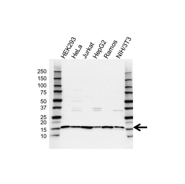 SNRPD2 Antibody (PrecisionAb<sup>TM</sup> Antibody) gallery image 1