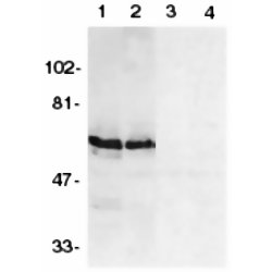 SODD Antibody gallery image 1