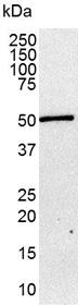 Somatostatin Receptor 1 Antibody | sstr1 gallery image 2