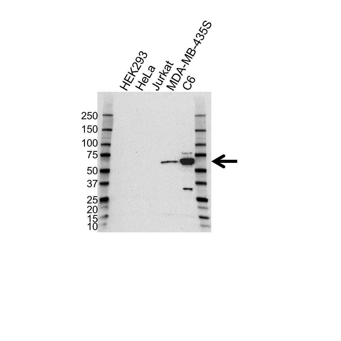 SOX10 Antibody (PrecisionAb<sup>TM</sup> Antibody) gallery image 1