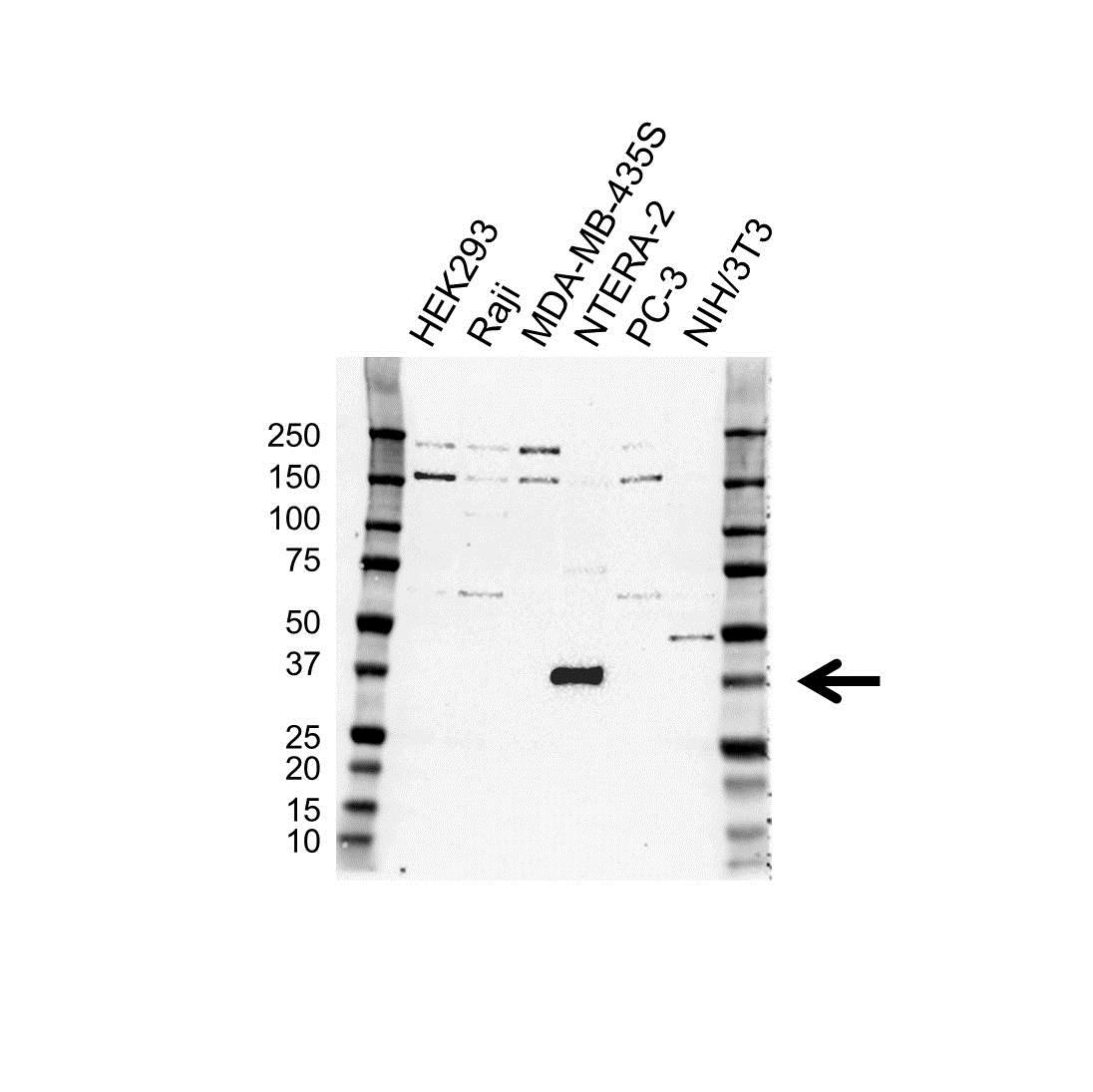 SOX2 Antibody (PrecisionAb<sup>TM</sup> Antibody) gallery image 1