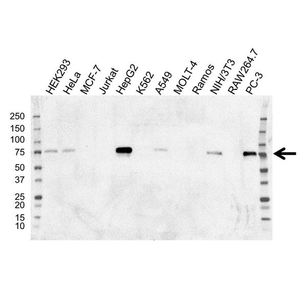 SOX9 Antibody (PrecisionAb<sup>TM</sup> Antibody) | OTI2H10 gallery image 1