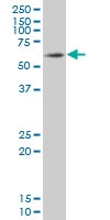 SOX9 Antibody | 3C10 gallery image 1