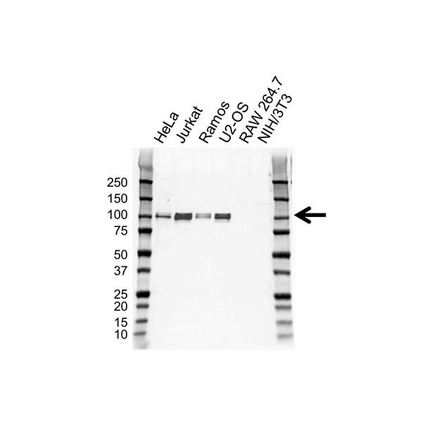 Sp1 Antibody (PrecisionAb<sup>TM</sup> Antibody) gallery image 1