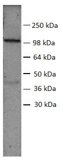 Sp1 Antibody gallery image 1
