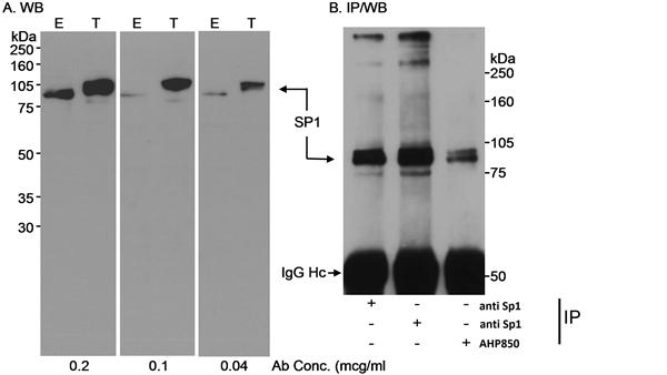 Sp1 Antibody gallery image 2