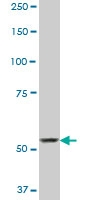 SP110 Antibody | 8C8 gallery image 2