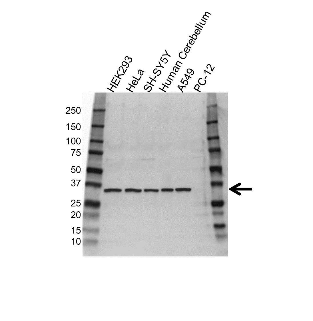 SPARC Antibody (PrecisionAb<sup>TM</sup> Antibody) gallery image 1