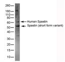 Spastin Antibody thumbnail image 1