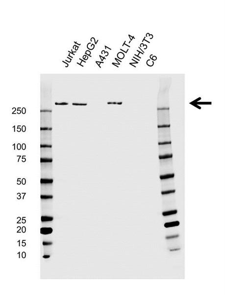 Spectrin Beta Antibody (PrecisionAb<sup>TM</sup> Antibody) gallery image 1
