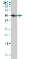 SPG3A Antibody | 1B9 gallery image 1