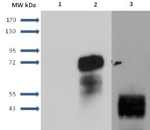 Sphingosine 1- Phosphate Receptor 1 Antibody   2B9 gallery image 10